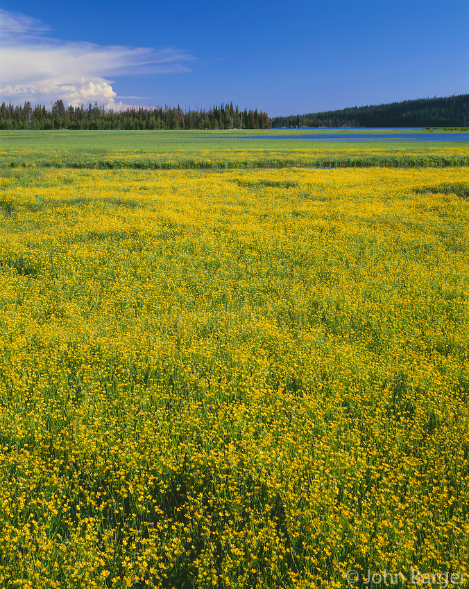 ORCAC_159 - USA, Oregon, Deschutes National Forest, Extensive bloom of subalpine buttercup in wet meadow near Sparks Lake.