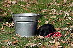 A pail, a black Labrador retriever puppy (AKC), and a towel.  Fall.  Birchwood, WI