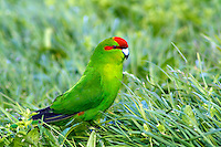 Red-crowned Parakeet, Auckland Islands