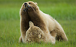 Coastal Brown Bears (Grizzly)