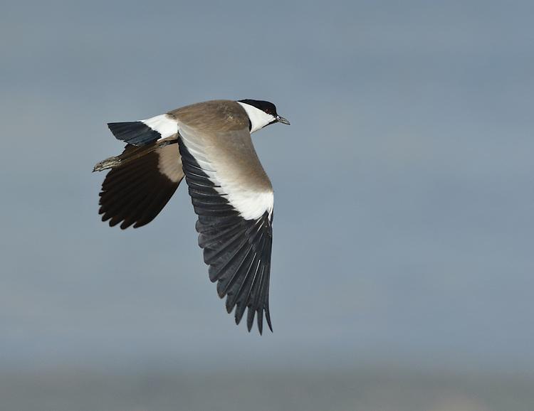 Spur-winged Plover - Vanellus spinosus