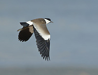 Spur-winged Plover - Vanellus spinosus