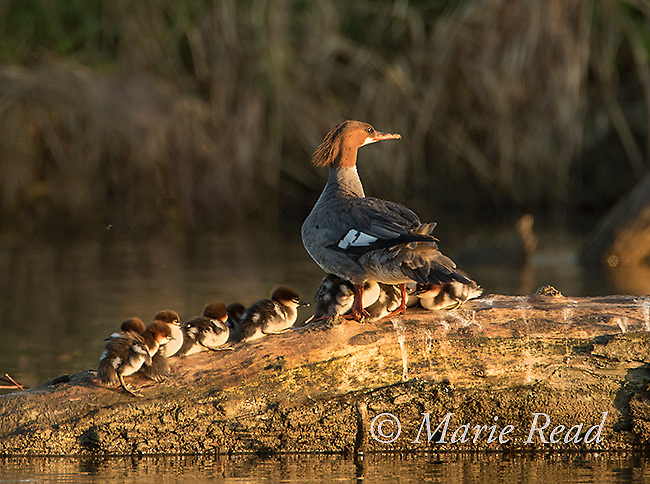 Common Mergansers (Mergus merganser) female with brood of nine (9) newly-hatched ducklings resting on log, New York, USA