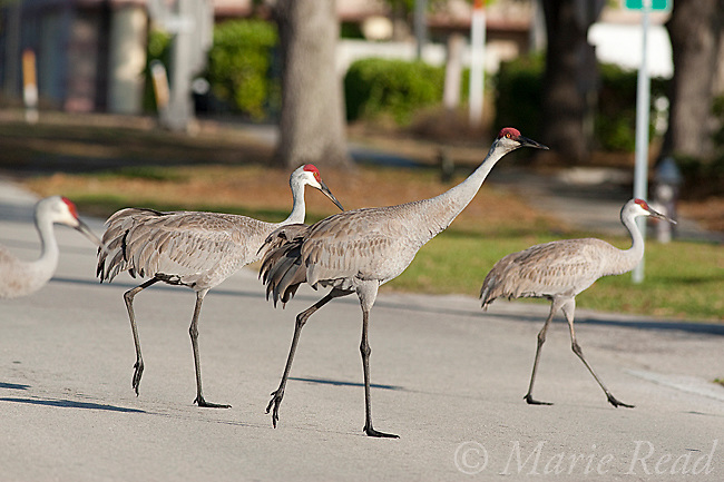 Greater Sandhill Cranes (Grus canadensis) (Florida race) four walking across a road, Kissimmee, Florida, USA
