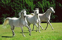 Group of Arabian horse mares trot together across open paddock.