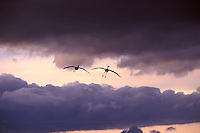 Sandhill Crane flight into sunset