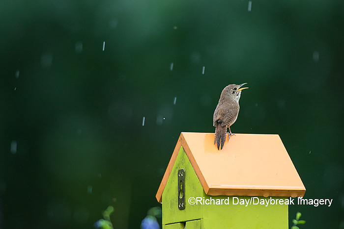 01324-01412 House Wren (Troglodytes aedon) male singing in the rain on nest box. Marion Co., IL