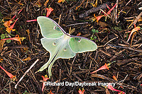 04000-002.20 Luna Moth (Actias luna) on mulch in garden,  Marion Co. IL