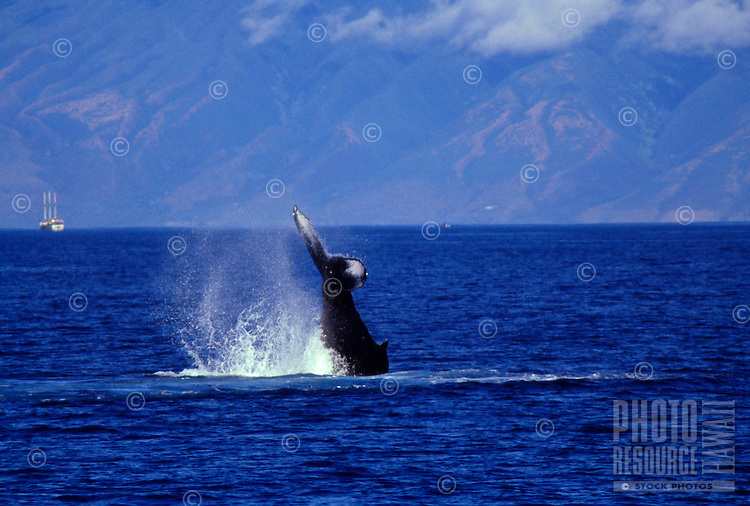 Humpback whale frolics in waters off the island of Maui, Hawaii