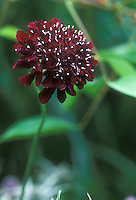 Fragrant annual Scabiosa atropurpurea Chile Black in flower