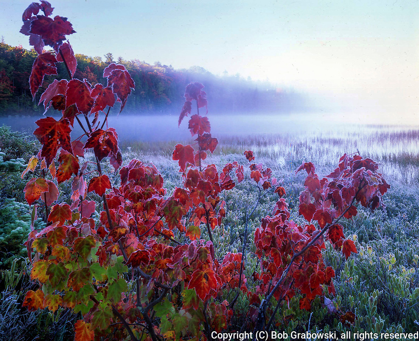 Frosted Red Maple on a foggy autumn morning in the West Canada Lake Wilderness Area in the Adirondack Mountains of New York state
