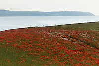 France, Pas-de-Calais (62), Côte d'Opale, champs de fleurs de coquelicots près de Wissant et  Cap Gris-Nez en fond // France, Pas de Calais, Cote d'Opale (Opal Coast), flower fields of poppies near Wissant , Cap Gris Nez in background