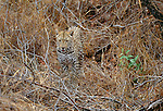 Leopard, Londolozi Private Reserve, South Africa