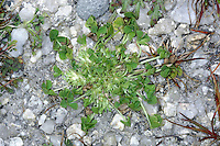 SUFFOCATED CLOVER Trifolium suffocatum (Prostrate) is easily overlooked because it is low-growing and soon withers and dries. The stalked leaves are arranged around a stalkless cluster of whitish flowers with pointed bracts (Apr-May). The plant grows on bare shingle and sand near the coast and occurs, very locally, from Pagham Harbour to east Kent.