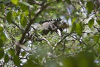 France/DOM/Martinique/Env Le Robert/Ilet Chancel: Iguane Male
