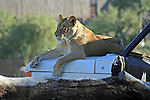 A Lioness relaxes atop a jeep.