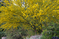 Palo Verde 'Desert Museum' yellow flowering shrub small tree in Los Angeles County Arboretum and Botanic Garden