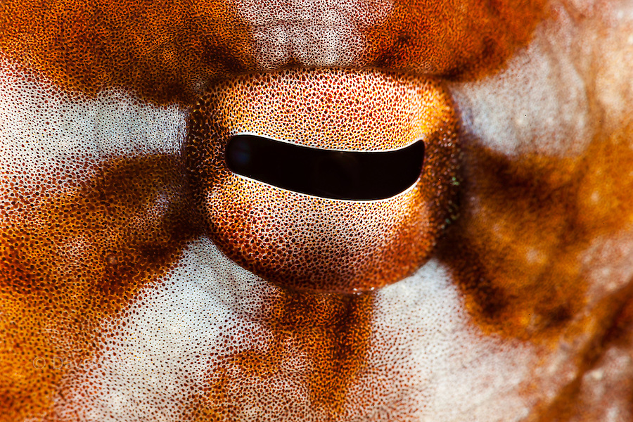 A close look at the eye of this eight armed cephalopod. Day octopus, Octopus cyanea, Yap, Micronesia.