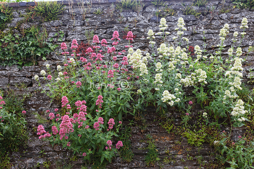 Centranthus ruber, also called valerian or red valerian in a wall (France, Calvados, Clécy) // France, Calvados (14), Clécy, valériane pourpre dans un mur, Centranthus ruber
