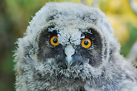 Long-eared owl (Asio otus),Young fledgling, Austria