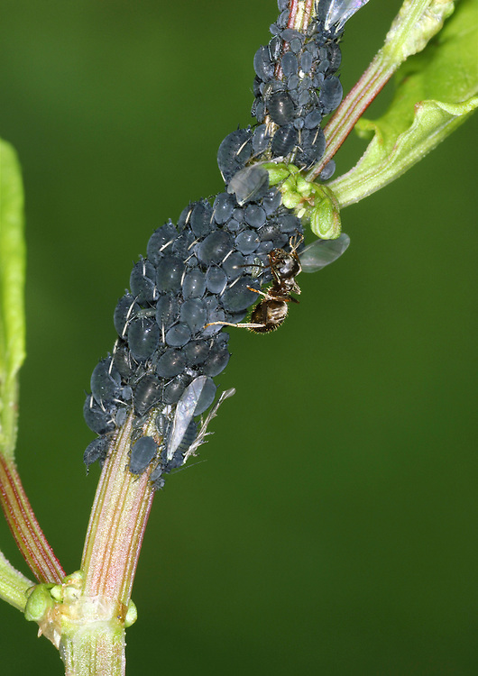 Black Bean Aphid - Aphis fabae