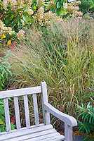 Ornamental grass Panicum virgatum 'Shenandoah' in fall garden with hydrangea, garden bench, Salvia elegans pineapple sage
