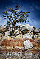 A large boulder set in contrast to a ponderosa pine which desperately cligs to the edge of an eroding slope in a colorful area of the San Jose Badlands in New Mexico's San Juan Basin.
