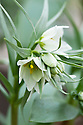 Fritillaria bucharica, glasshouse, early March.