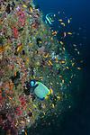 Reef with Emperor Angelfish, Moorish idol
