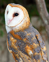 Adult male barn owl. This is a rescued, captive bird.