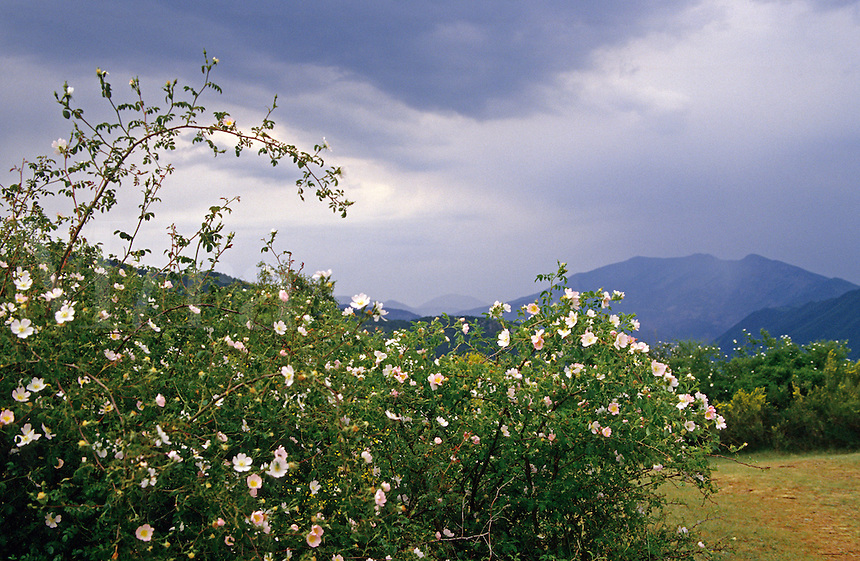 Wild rose, eglantine. Dog rose. Rosa canina. Alpes de Haute Provence. France..