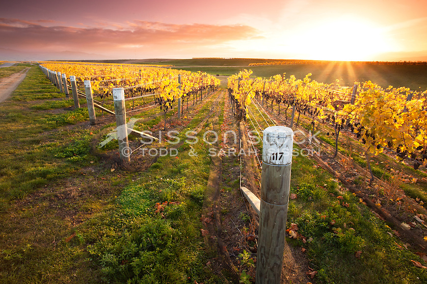 Sunrise over a vineyard near harvest, between Alexandra and Clyde, Central Otago, South Island, New Zealand.