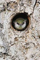 Violet-green Swallow,Tachycineta thalassina,adult in nesting cavity in pine tree, Rocky Mountain National Park, Colorado, USA