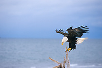 Bald eagle lands on a driftwood branch, Homer, Alaska