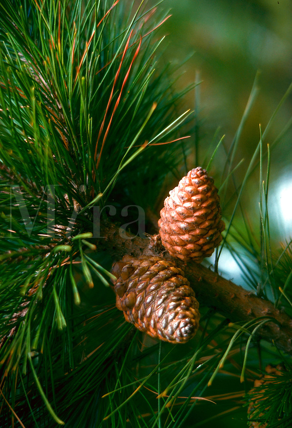 Close-up of pine cones and pine needles, California