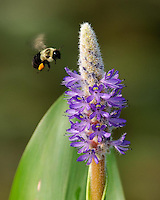 The bumblebee had already collected a bunch of pollen on its hind legs as it approached the flower.  I was trying to capture it just before it landed on the flower.  You can see how fast its wings are flapping.  A remarkable sigght for sure.