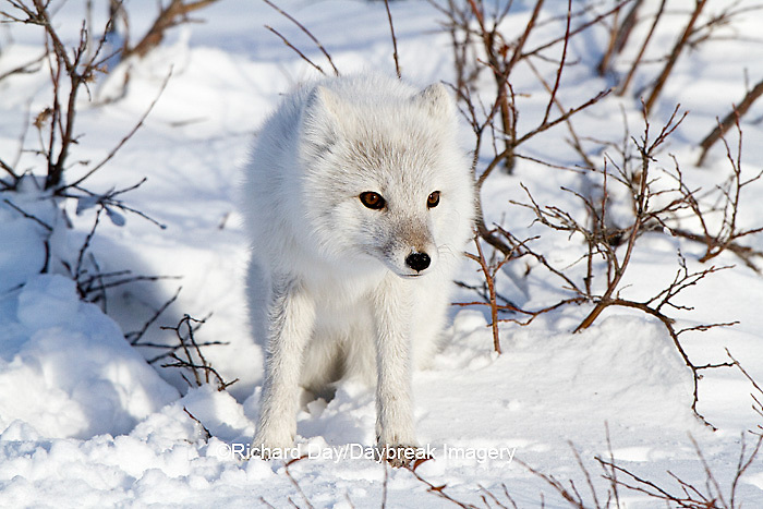 01863-01116 Arctic Fox (Alopex lagopus) in snow in winter, Churchill Wildlife Management Area, Churchill, MB Canada
