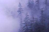 An image of Douglas Fir trees on a mountainside in a fog near Mount Hood, Oregon