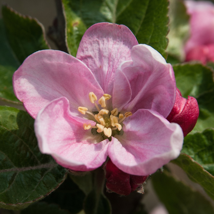 Apple 'Arthur Turner' in blossom, late April. An English culinary variety raised by Charles Turner, a nurseryman from Slough, Buckinghamshire and first introduced in 1915.