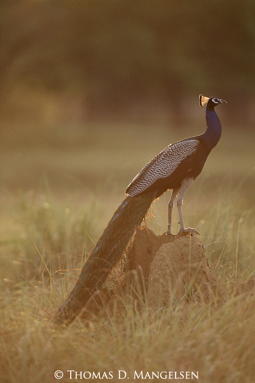 Indian blue peacock perched on termite mound