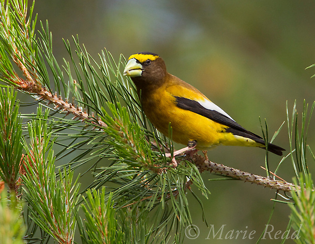 "Evening Grosbeak (Coccothraustes vespertinus) male feeding on small caterpillar in conifer, Yuba Pass, California, USA. (Tree = Lodgepole Pine? Needles in pairs, 1-3"" long?)"
