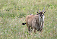 The eland is the world's largest antelope species.