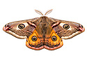 Emperor moth male {Saturnia pavonia} photographed in mobile field studio on a white background. Peak District National Park, UK. April.