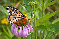 Monarch butterfly on echinacea purple coneflower