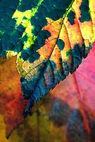 Zoete kers (Prunus avium) in herfstkleuren
