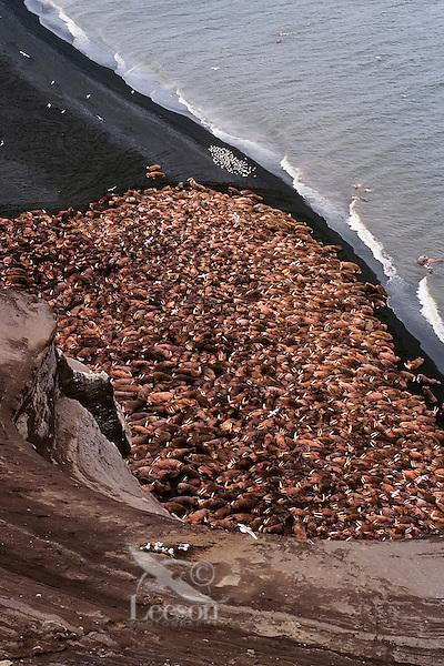Walrus bulls (Odobenus rosmarus) hauled out along the Alaska Peninsula's Bering Sea coast.