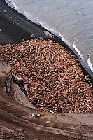 Walrus bulls (Odobenus rosmarus) hauled out along the Alaska Peninsula's Bering Sea coast.