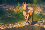 Palomino quarter horse walking along mountain spring, Wyoming in dappled light.