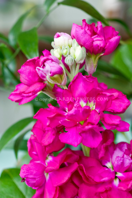 Matthiola incana (Stock) red-rose, fragrant pink flowers