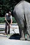 Zoo keeper sweeping up elephant mess at the Woodland Park Zoo Seattle Washington State USA